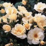Розы Хакун