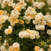 Розы Гислен Де Фелигонд