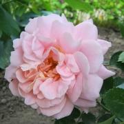 Розы Моргенгрусс