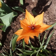 Тюльпаны Шогун