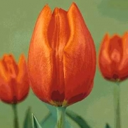 Тюльпаны Оранж Бриз