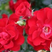 Розы Ротер Корсар