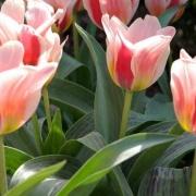 Тюльпаны Мэри Энн