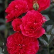 Розы Меркури 2000