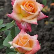 Розы Арк Ангел