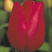 Тюльпаны Карин Блюмен