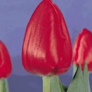 Тюльпаны Олимпика