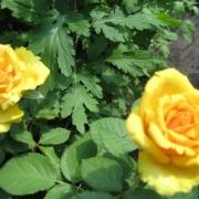 Розы Иллиос