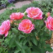 Розы Дженерейшн Жардин