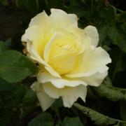 Розы Элина