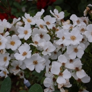 Розы Анита Перейр