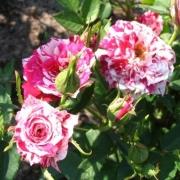 Розы Старс энд Страйпс