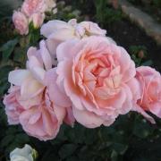 Розы Амаретто