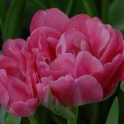 Тюльпаны Гранда