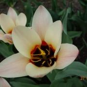 Тюльпаны Зомби