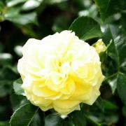 Розы Солеро