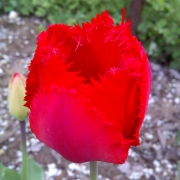 Тюльпаны Арма