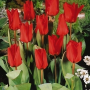 Тюльпаны Поло