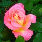 Розы Инспирейшн