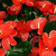 Комнатные растения Антуриум