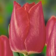Тюльпаны Кристмас Клауд