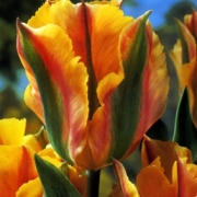 Тюльпаны Голден Артист