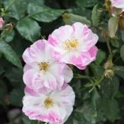 Розы Сорбет Фрамбоизе