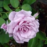 Розы Блю Вельвет