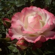 Розы Кармагноле