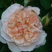Розы Эйфельзаубер