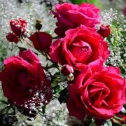 Розы Хайдок Парк