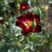 Розы Роад 66
