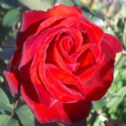 Розы Сатчмо