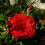 Розы Мерседес