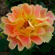 Розы Пур Каприс