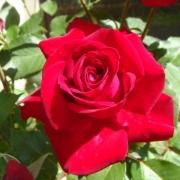 Розы Глэд Тайдингс