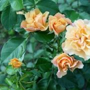 Розы Текила