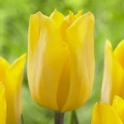 Тюльпаны Кикомачи