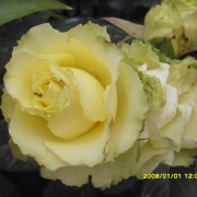 Розы Лимбо