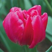Тюльпаны Бонжур