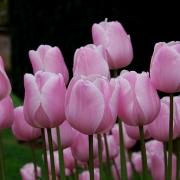 Тюльпаны Пинк Даймонд