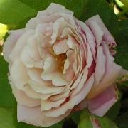 Розы Том Браун