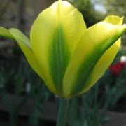 Тюльпаны Вирилемон