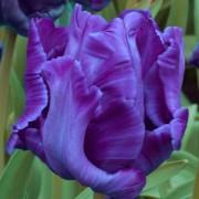 Тюльпаны Блю Пэррот