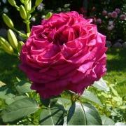 Розы Роуз дес 4 Вентс