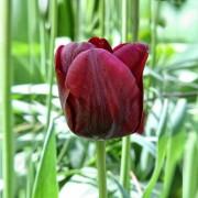 Тюльпаны Маскара