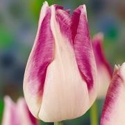 Тюльпаны Седалия