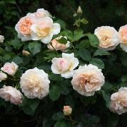 Розы Пердита