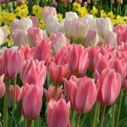 Тюльпаны Альберт Хейн