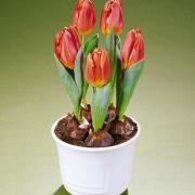 Тюльпаны Жилдо
